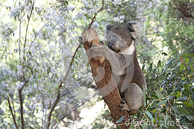 Koala on a tree trunk
