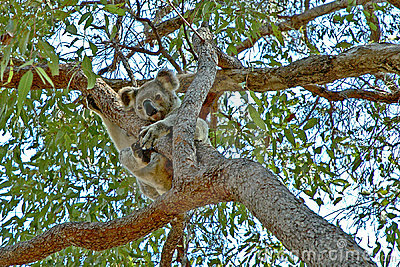 Koala up a gum tree #2