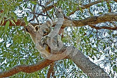 Koala vers le haut d un arbre de gomme #2