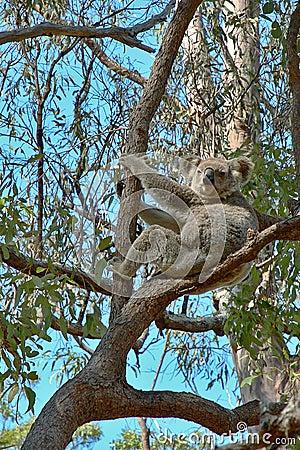 Koala vers le haut d un arbre de gomme