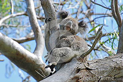 A Koala wild free on Stradbroke Island Australia