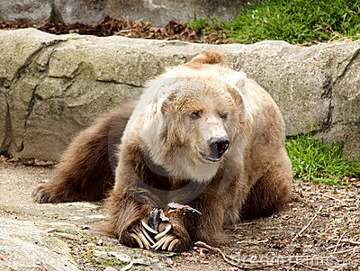 Kodiak Bear and prey