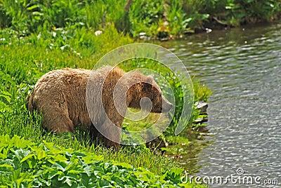 Kodiak Bear Staring across the pond