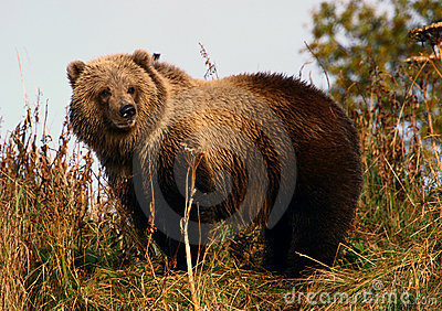Kodiak brown bear cop