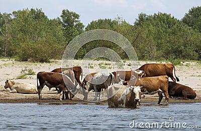 Koeien bij een riverbank