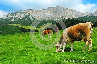 Koeien die in platteland weiden