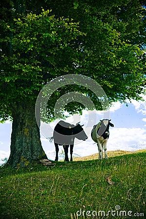 Koeien onder boom