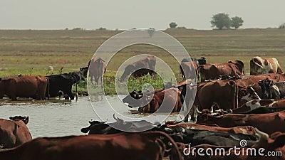 Koeienrust bij Vijver stock footage