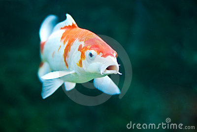 Koi carp royalty free stock photography image 15049857 for Mini carpe koi