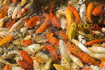 Koi Carp feeding frenzy