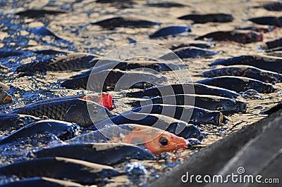 Koi Carp Fish