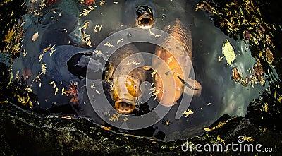 Koi Carp Fish Stock Photo Image 47823681