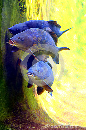 Koi or carp fish