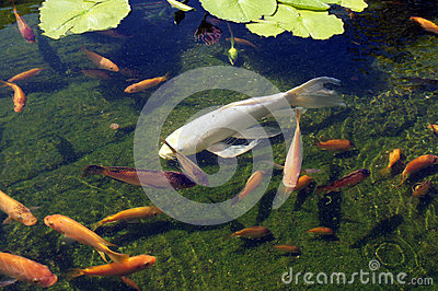 Koi carp swimming in shallow pool stock photos image for Koi swimming pool