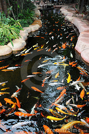 The koi carps in a rivulet