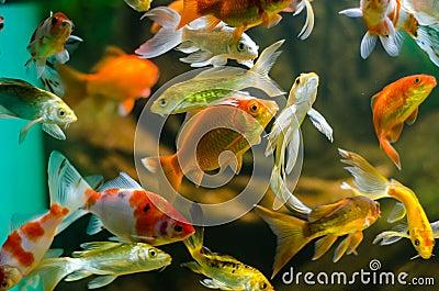 Koi e carpa in acquario fotografia stock libera da diritti for Carpa pesce rosso