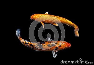 Koi fancy carp royalty free stock photo image 34312415 for Fancy koi fish