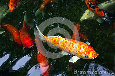 Koi fancy carp stock images image 34312404 for Fancy koi fish