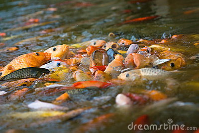 Koi feeding frenzy (1)