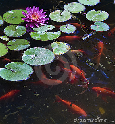 Free Koi Fish Royalty Free Stock Photography - 10060997