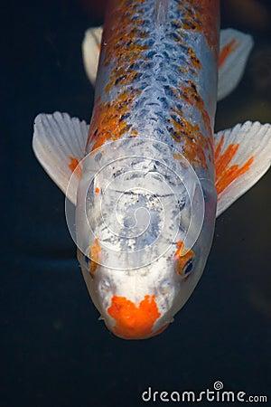 Koi fish royalty free stock images image 2206389 for Koi fish near me
