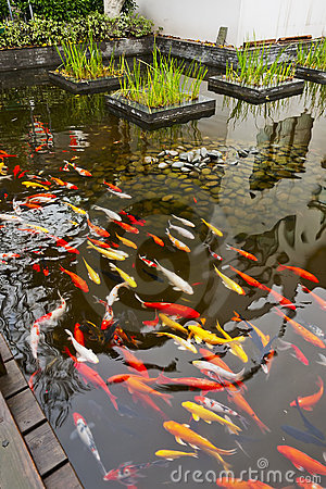 Free Koi Fish Stock Images - 23194374