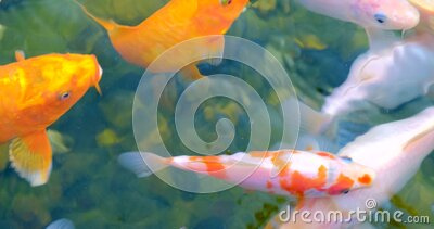 Koi fish as object of breeding in ceremonial ponds , pisciculture. stock video