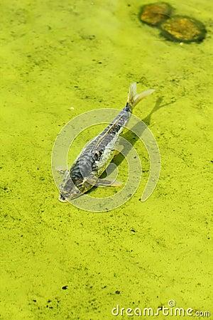 Koi fish (Carp) in the pond