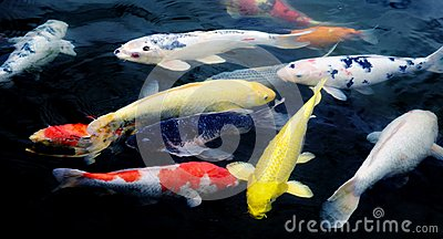 Koi fish stock photo image 48799987 for Ornamental fish pond design