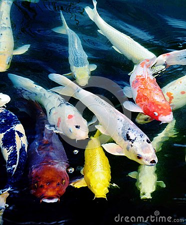 Koi fish stock photo image 48800024 for Colorful pond fish