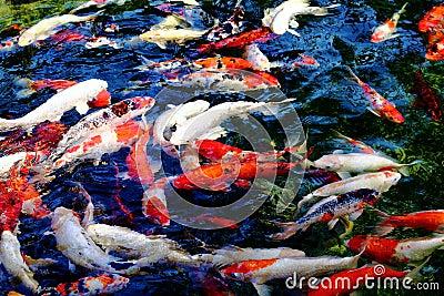 Koi fish stock photo image 53742750 for Colorful pond fish