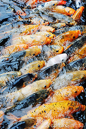 Koi fish competition for food stock photography image for Best food for koi fish