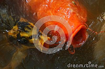 Koi fish stock photo image 44746829 for Black and gold koi fish