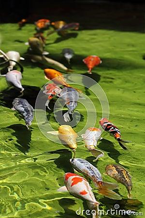 Koi fish line (Carp)