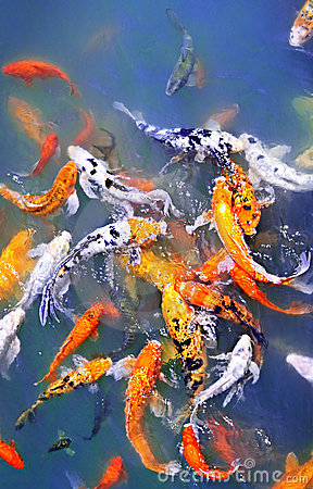 Koi fish in pond