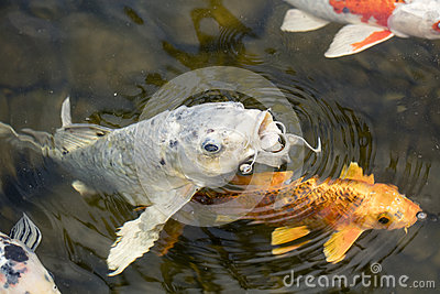 Koi fish in a pond stock photo image 56707055 for Black and gold koi fish