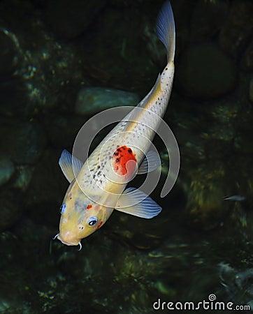 Koi fish royalty free stock images image 30006089 for Green koi fish