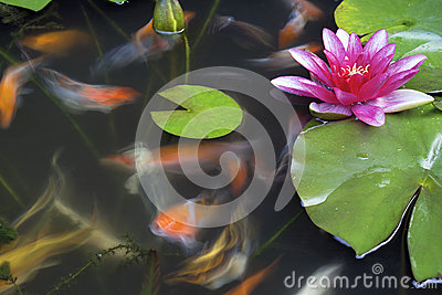 Koi fish swimming in pond with water lily stock for Koi pond music