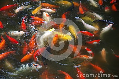 Koi stock photo image 53796858 for Lucky koi fish