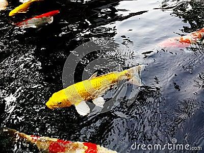 Koi fish symbols of good luck stock photo image 44091504 for Koi fish good luck