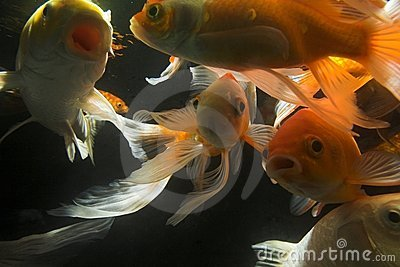 Koi fish underwater