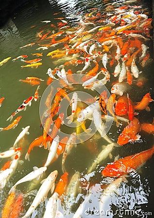 cyprinus carpio fishes