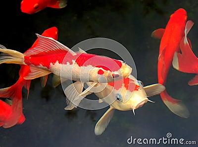 Koi and goldfish