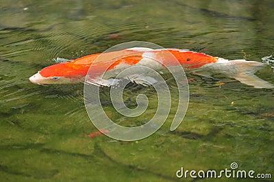 Koi Karpfen-Fische