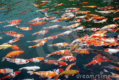 Koi in the lake