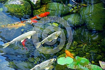 Koi pond royalty free stock photography image 1821467 for Koi pond music