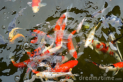 Koi pond stock photo image 53019396 for Colorful pond fish