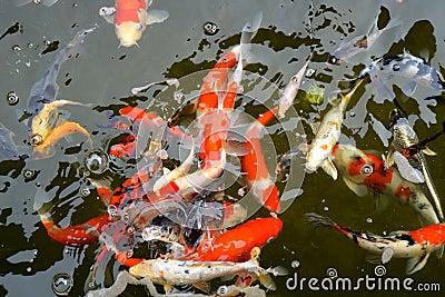 Koi pond stock photo image 53019396 for Colorful pond fish