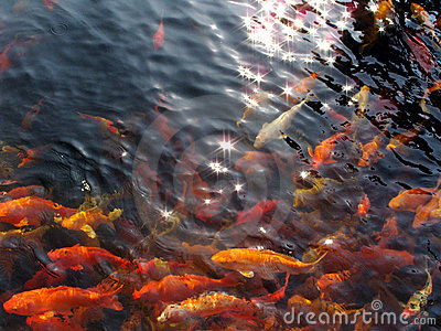 koi swim under starry sun