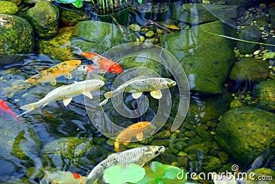 Koi teich lizenzfreies stockfoto bild 1826545 for Koi und goldfische in einem teich